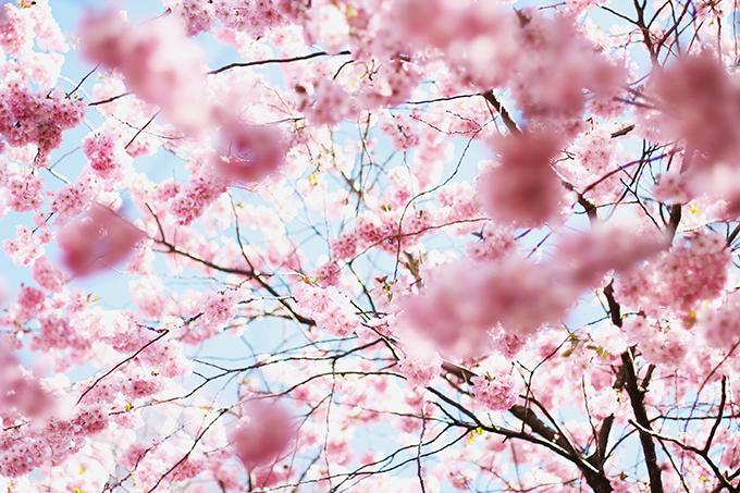 kirschblüte, cherry blossoms,kiel